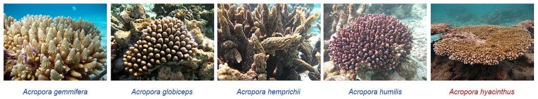 Wikipedia – Marine Life of Baa Atoll – Corals
