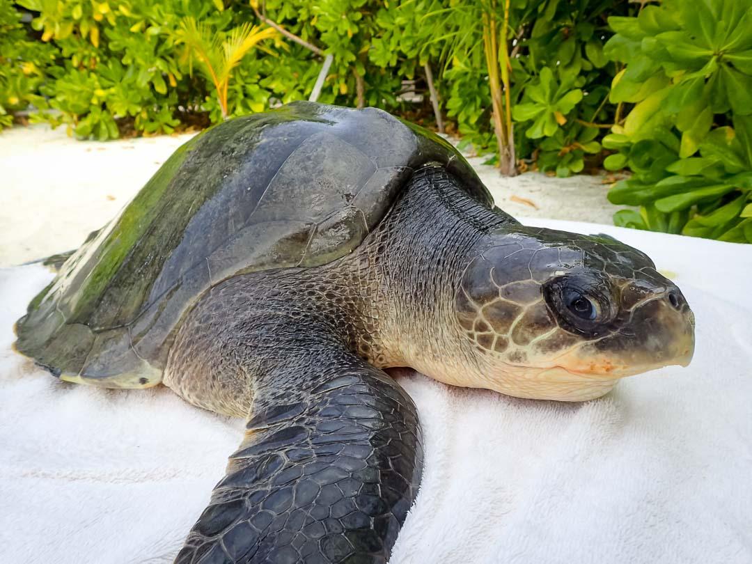 Valentino - sea turtle conservation Maldives Marine Savers