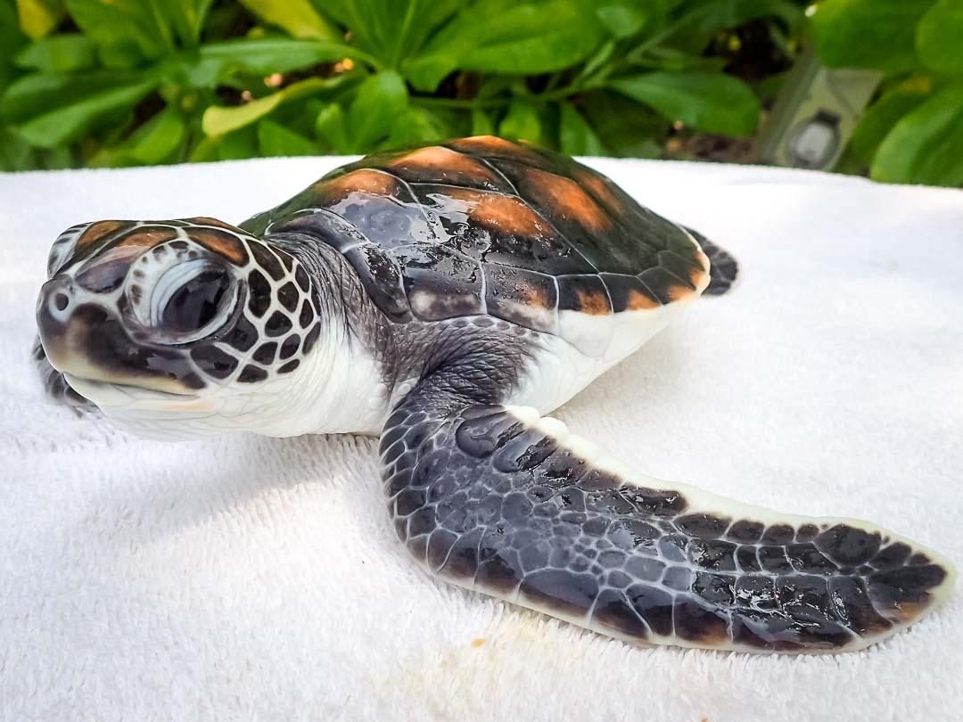 Copepod - sea turtle conservation Maldives Marine Savers
