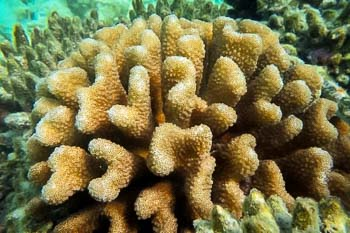 Pocillopora colony surrounded by dead Acropora