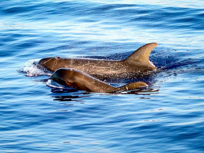 Dolphin safari - Marine Savers Maldives