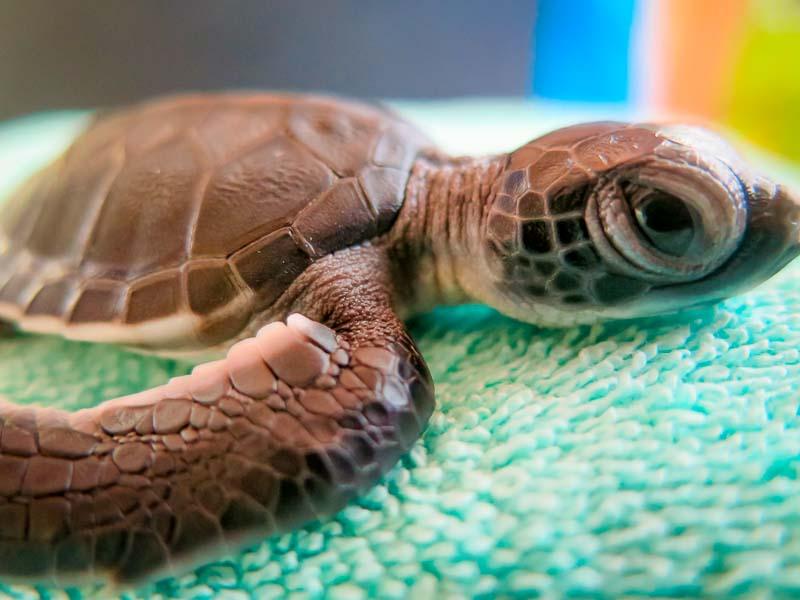 Green Sea Turtle hatchling - Flora - Marine Savers Maldives - sea turtle conservation