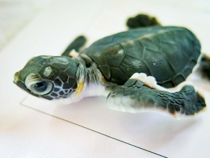 Green Sea Turtle hatchling - Rex - Marine Savers Maldives - sea turtle conservation