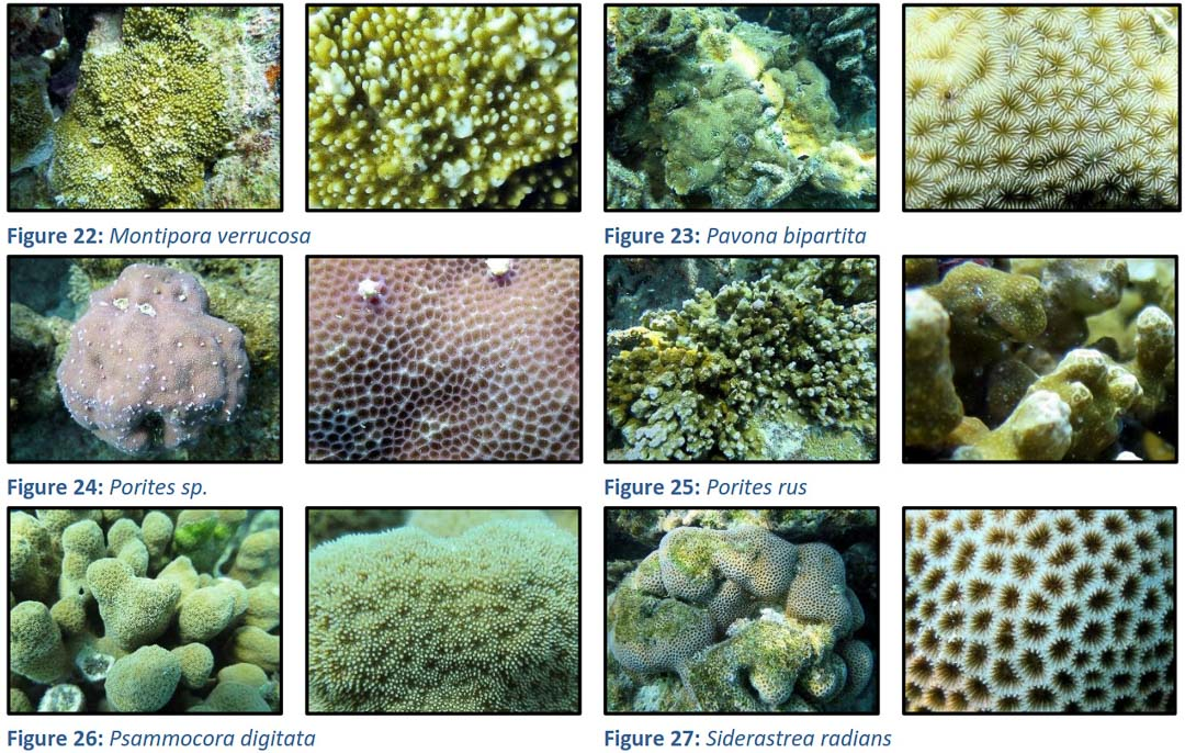 House Reef Corals – survivors of the bleaching, Maldives (3)