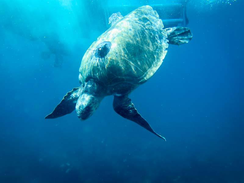 Nash released - Marine Savers volunteers Maldives turtles