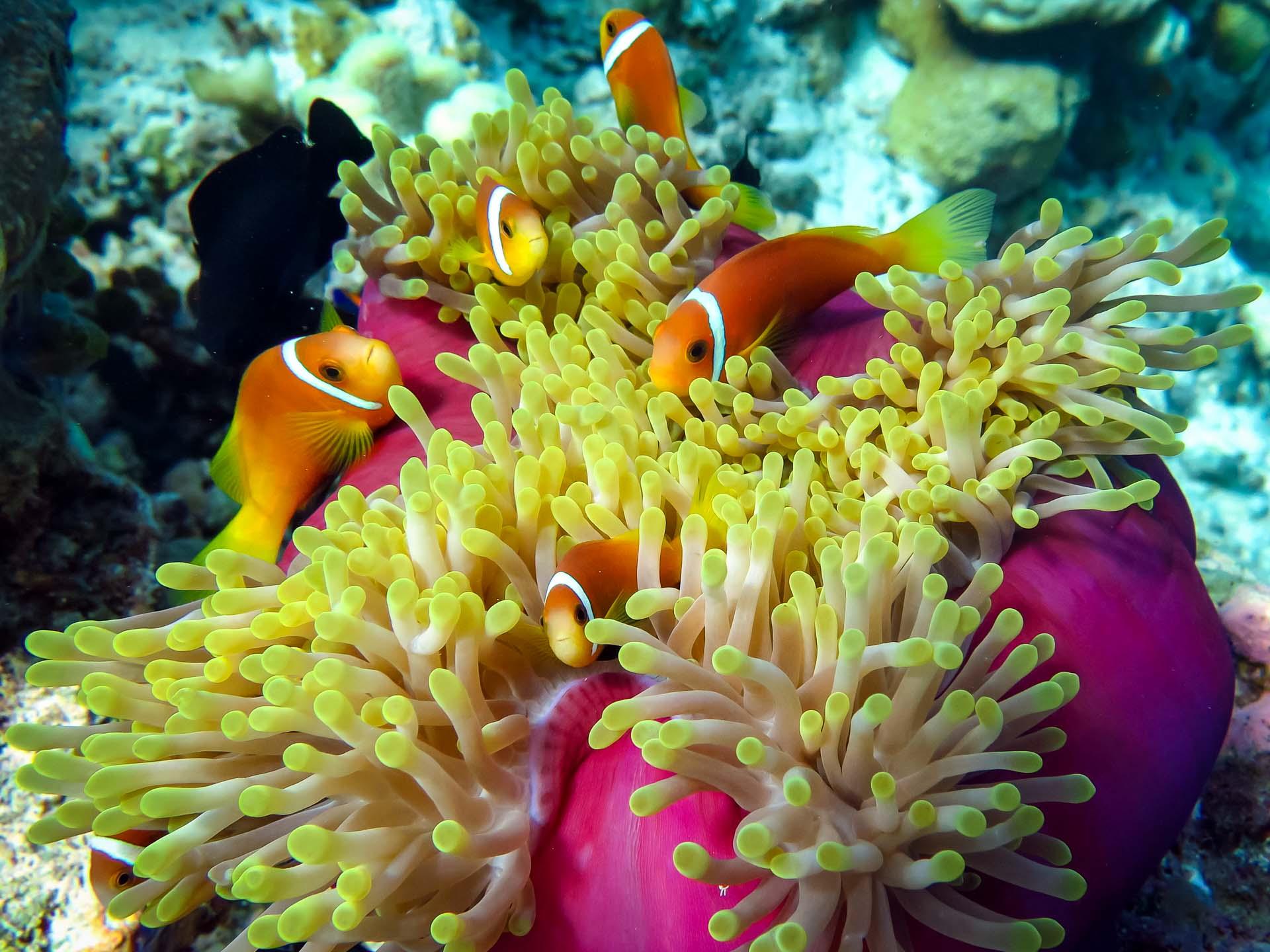 Blackfoot anemonefish (Maldivian Clownfish)