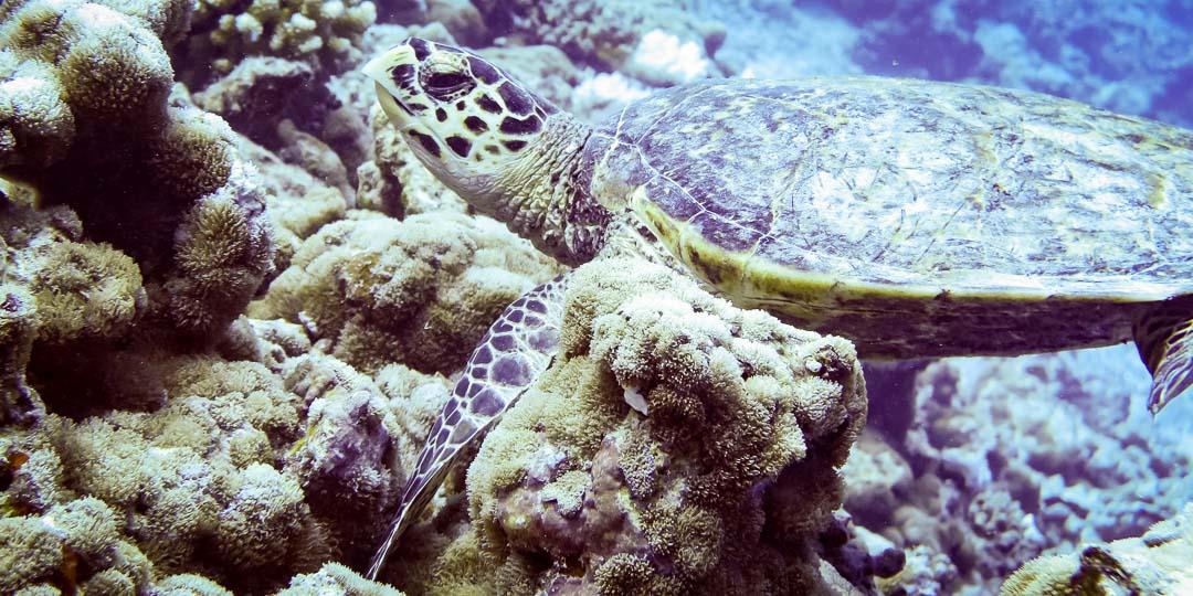 Wild Hawksbill turtle 'Aalima' Marine Savers Maldives
