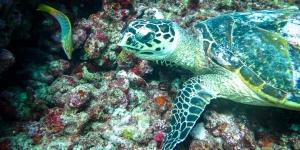 Wild Hawksbill turtle –  Marine Savers volunteers Maldives (Adam's Turtle Tales)