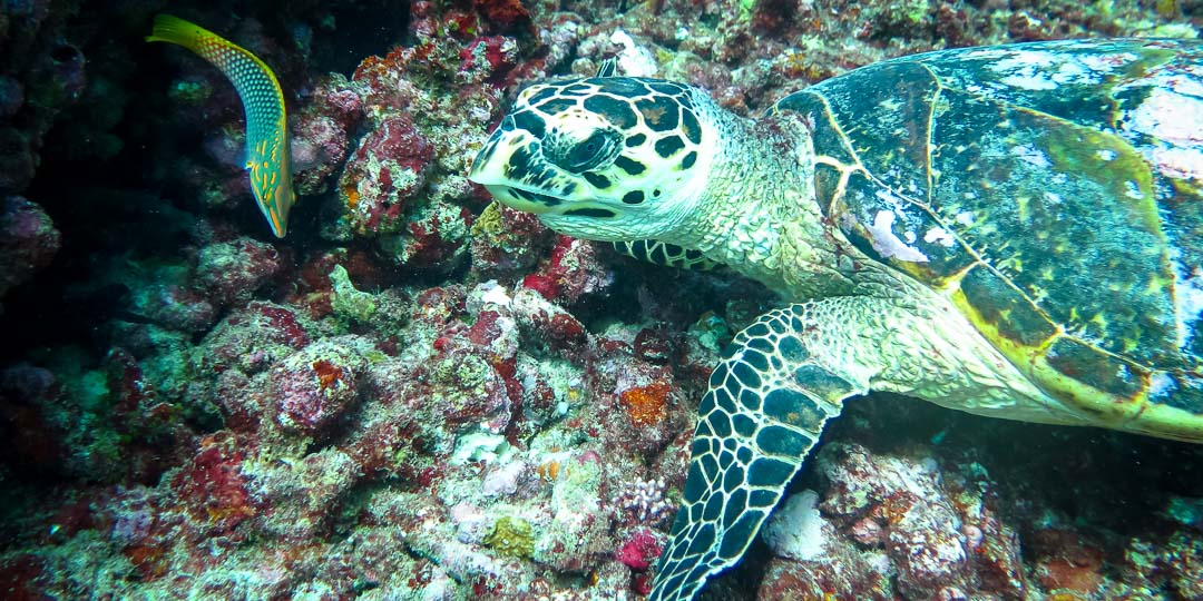 Wild Hawksbill turtle on the reef