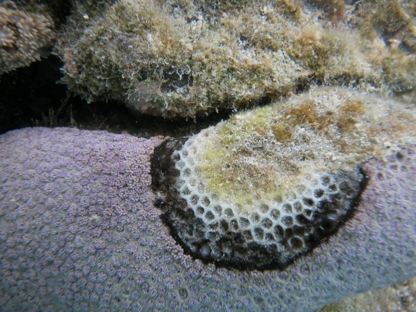 coral Black-band disease (slow-progressing) on a Goniopora