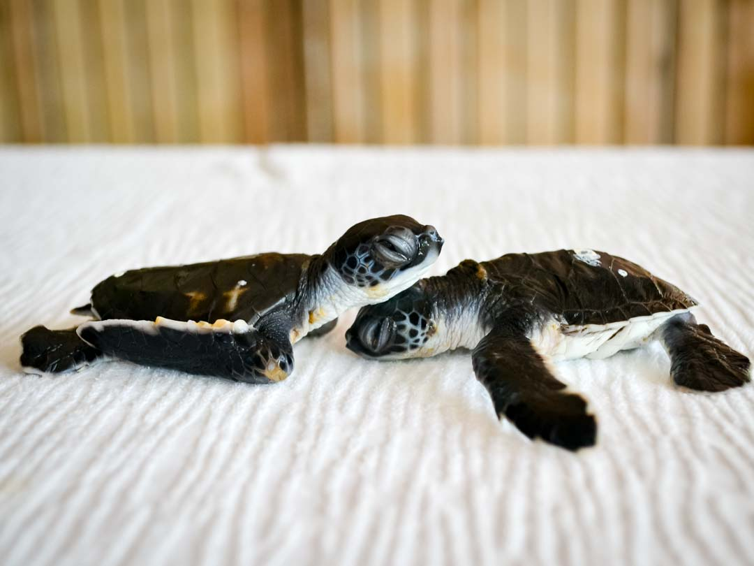 CM115-117 (1) - green sea turtle hatchlings - Marine Savers Maldives-2
