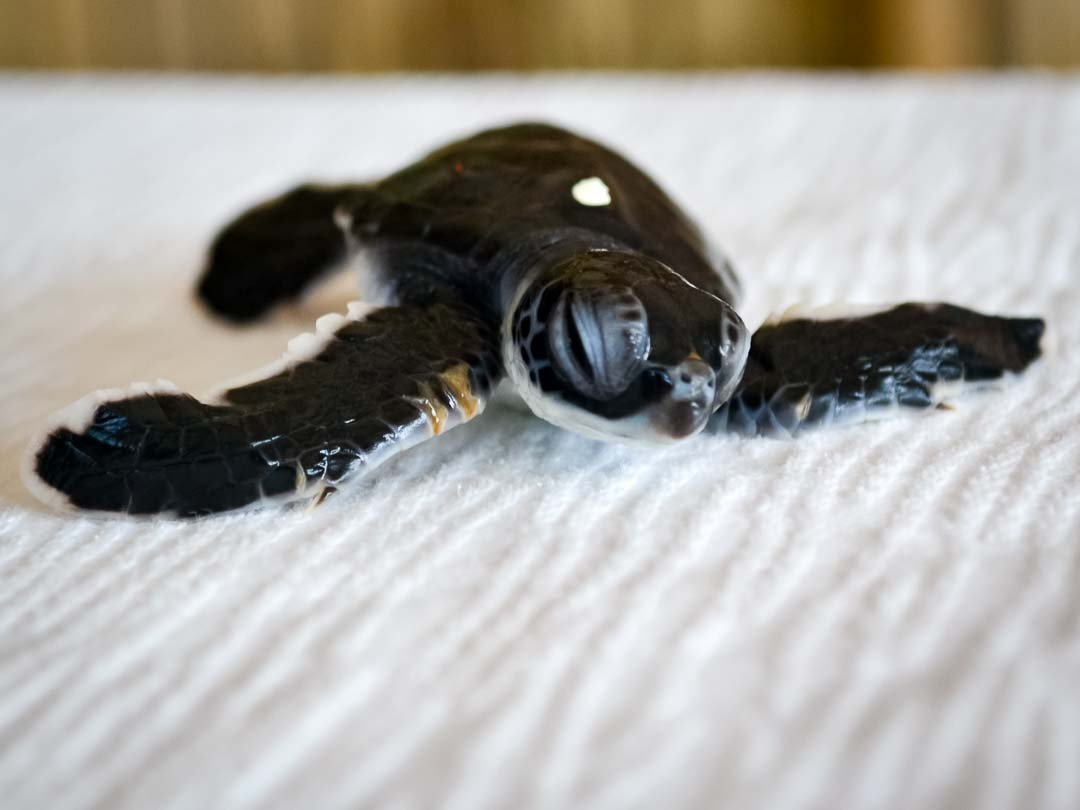 CM115 - green sea turtle hatchlings - Marine Savers Maldives