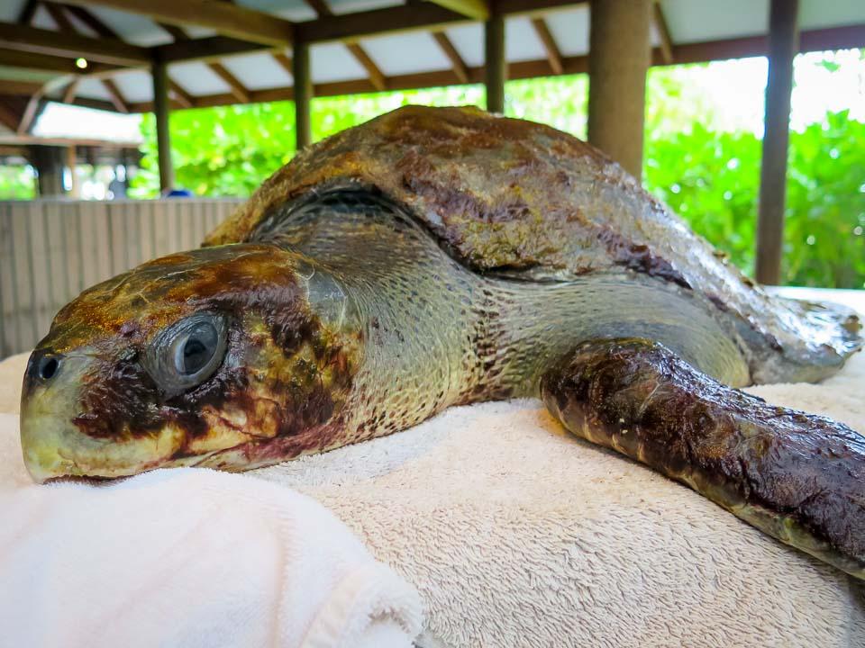 'Hanson' (RBLO086) sick olive ridley turtle