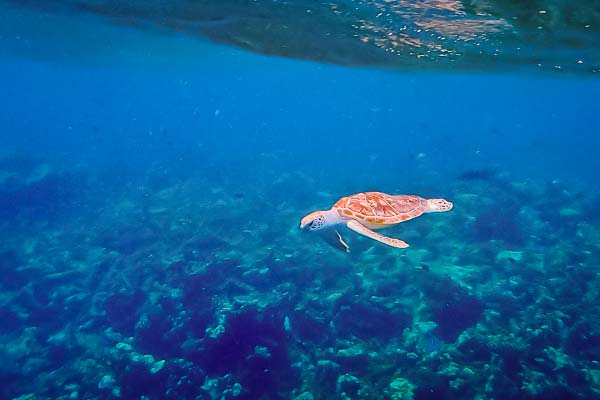 Sea turtle 'Kaya' released into the wild, Marine Savers Maldives