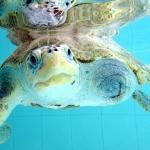 Rescue Turtle La Petite - recovery pool