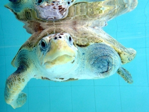 Rescue Turtle La Petite – recovery pool (Our Flying Turtles : From Maldives to Europe)