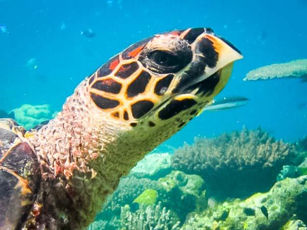 Newly sighted hawksbill turtle (Raa Atoll, Maldives)