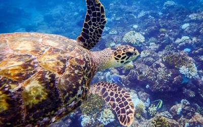 Maldivian Sea Turtle Updates