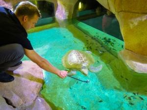 Marine Savers Maldives - flying turtles - First Feeding