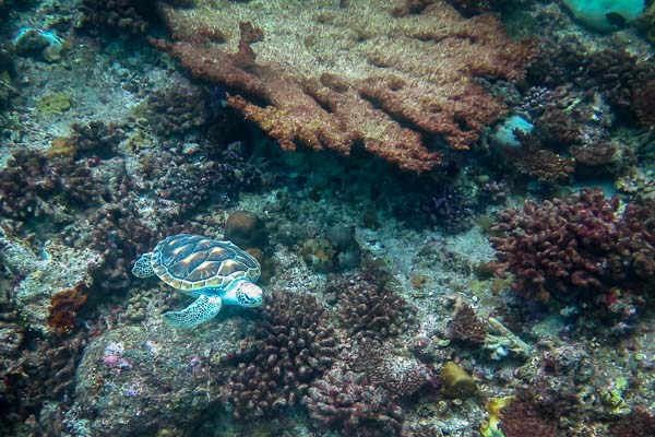 Sea turtle 'Tial' released into the wild, Marine Savers Maldives