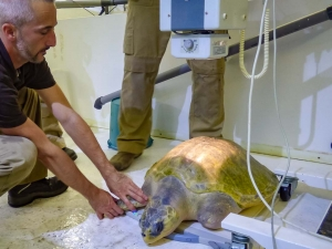 X-Raying an Olive Ridley turtle