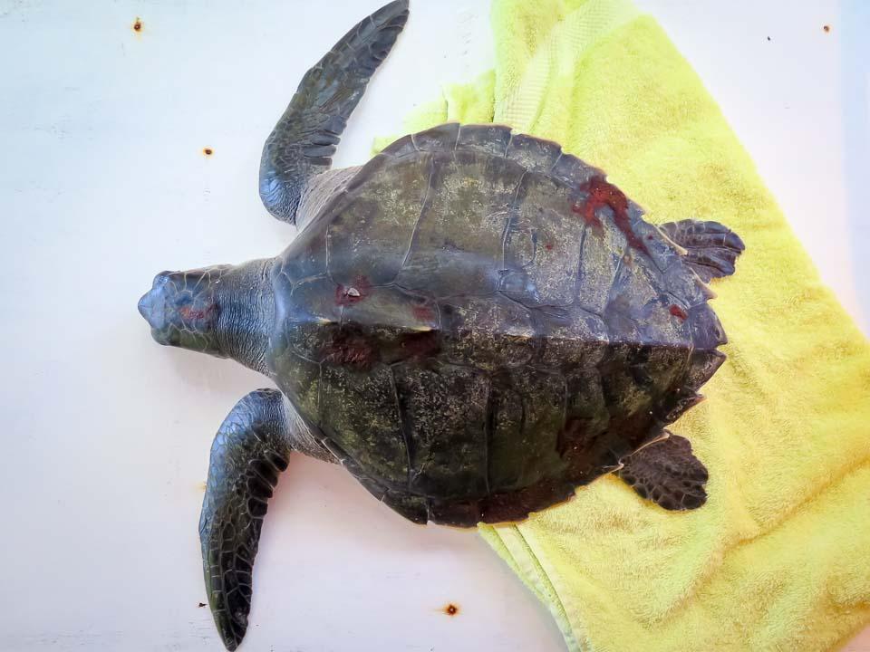 Juvenile olive ridley turtle rescued