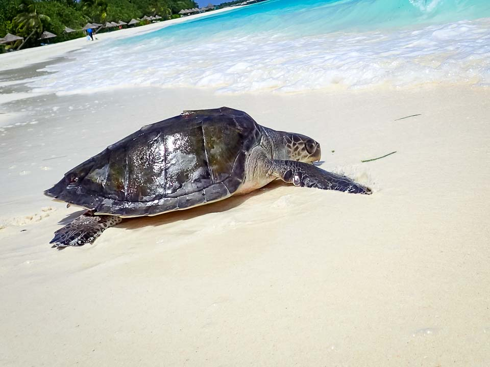 Juvenile olive ridley turtle released