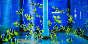 Clark's clownfish (Amphiprion clarkii) Marine Savers Maldives (Fish Lab: Fun Facts and Fascinating Findings)