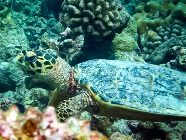 Hawksbill turtle 'Kevin' resting on the reef top