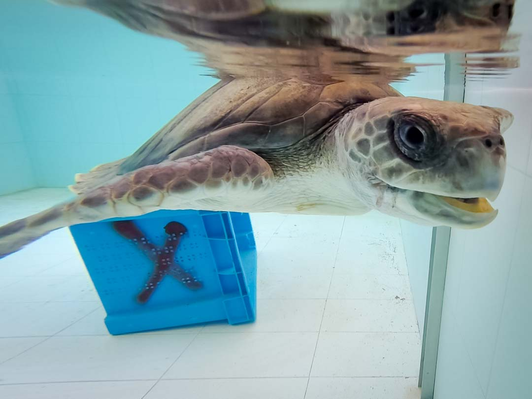 'Samy' - rescued Olive Ridley turtle in rehab, Maldives