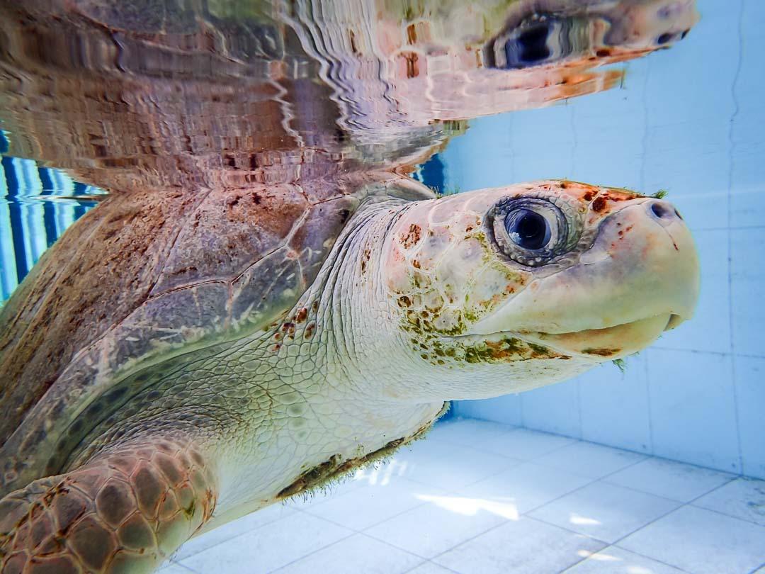 Pumpkin Pie - sea turtle conservation Maldives Marine Savers