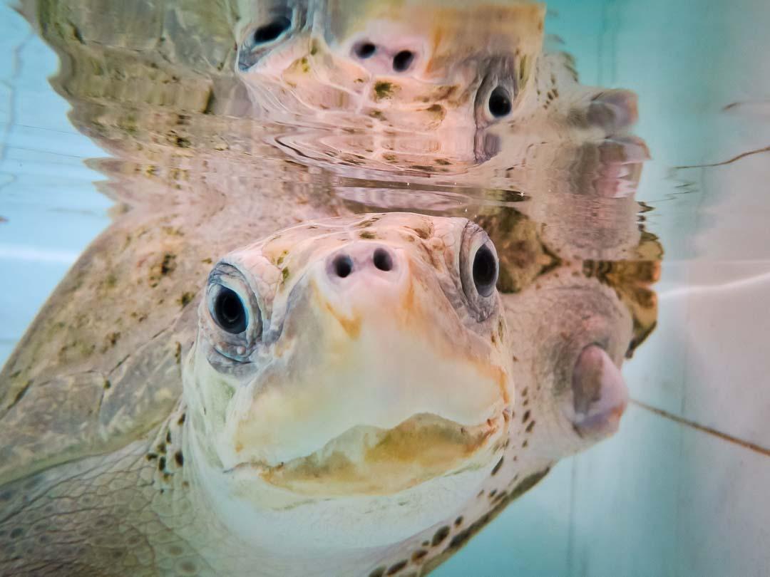 Pumpkin Pie - rescue Olive Ridley turtle - Marine Savers Maldives