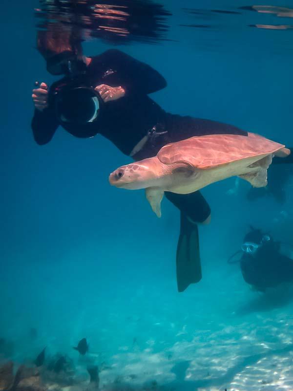 Rescue turtle 'Pumpkin Pie' having a rehab swim in the ocean