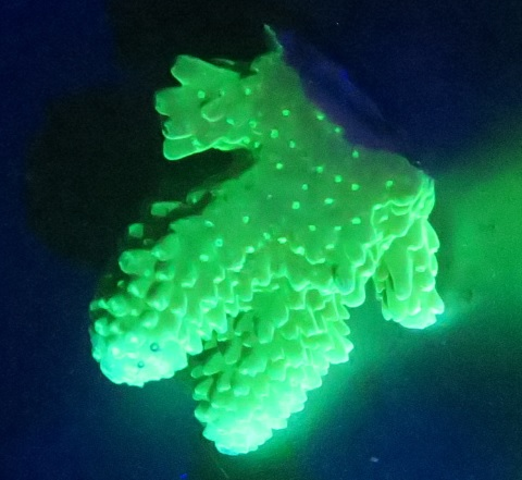 Acropora digitifera - Fluorescence