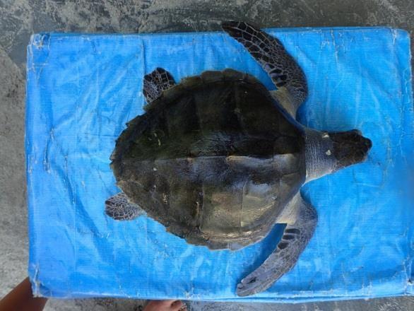 Jasmine Rescue Turtle (RB.LO.091)