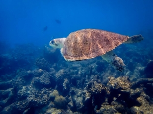 Denise – Olive Ridley turtles rescued from ghost nets, Marine Savers Maldives (Denise)