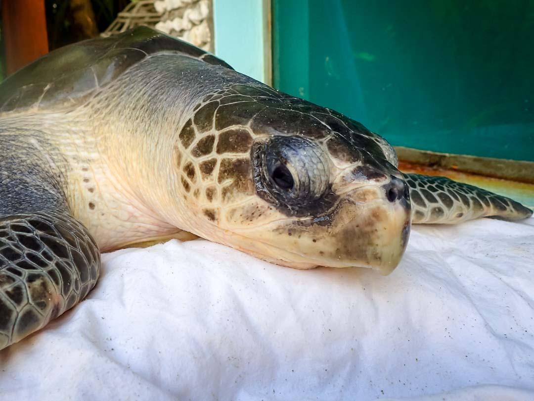 Diver - sea turtle conservation Maldives Marine Savers
