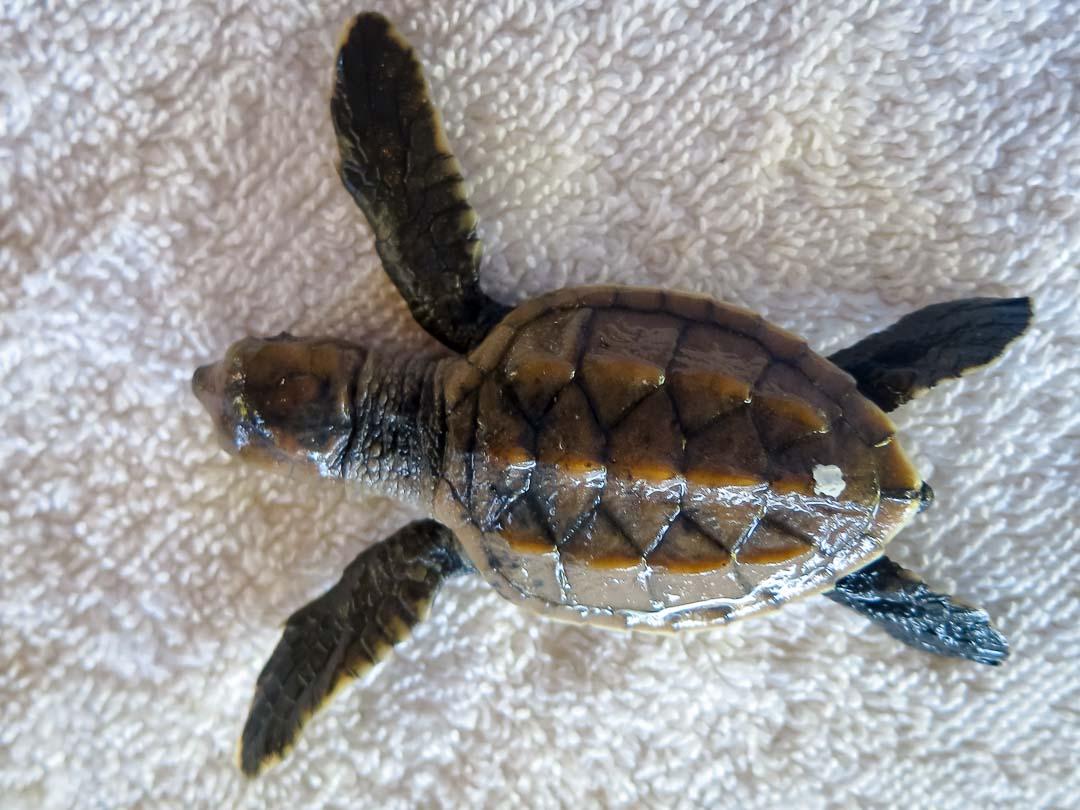 EI.036 Flash (1) sea turtle conservation Maldives Marine Savers