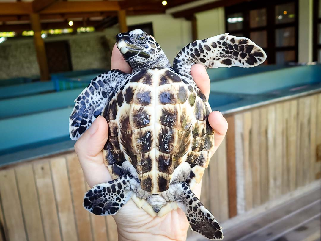 EI.036 Flash hawksbill turtle hatchling Marine Savers Maldives