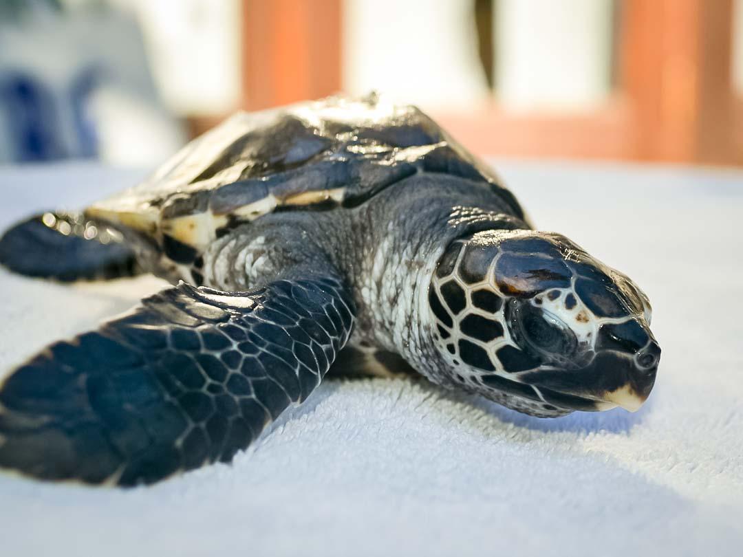EI.036 Flash (3) hawksbill turtle hatchling Marine Savers Maldives