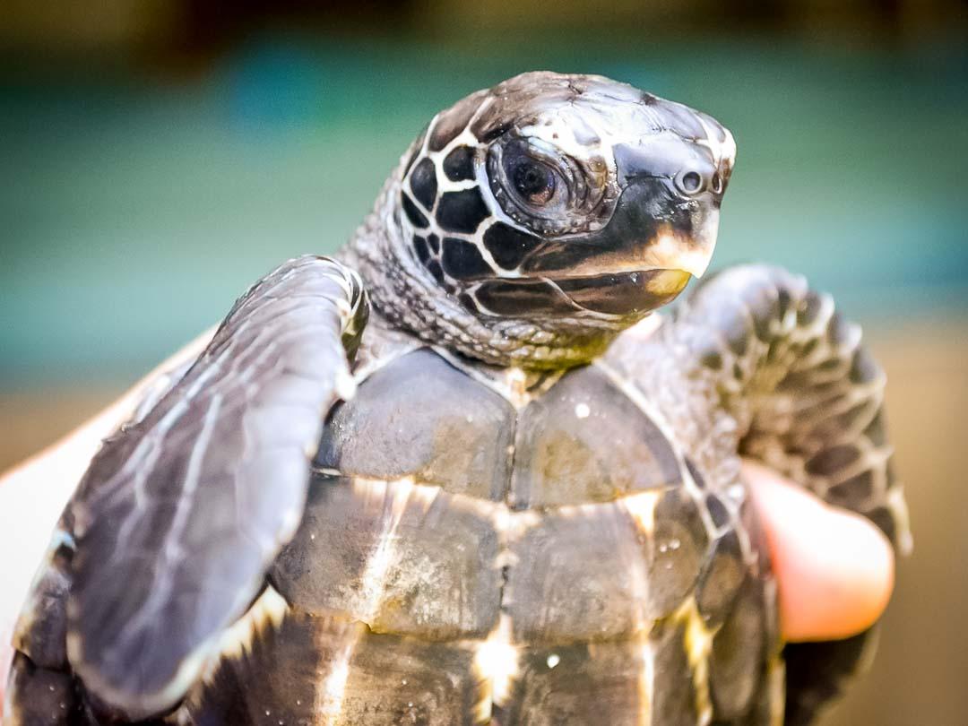 EI.037 Allegra (1) hawksbill turtle hatchling Marine Savers Maldives