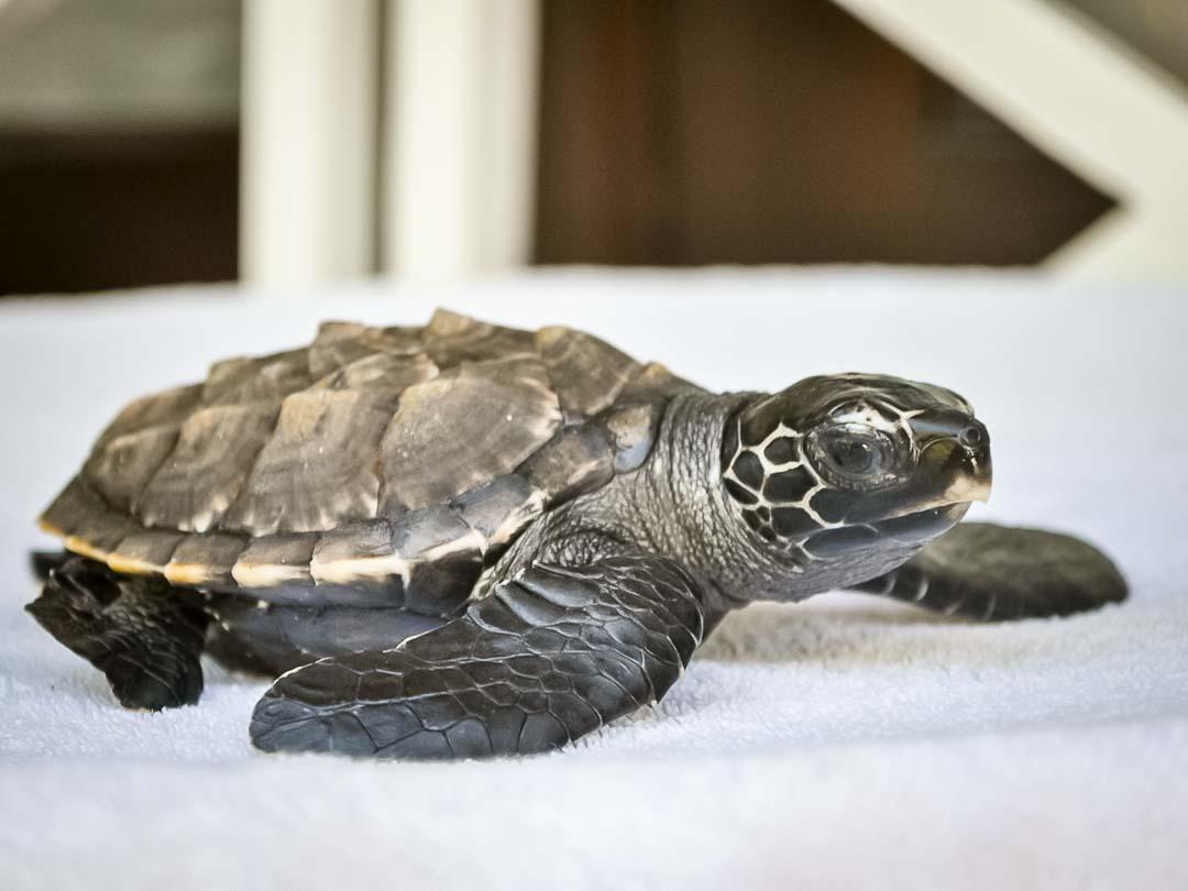 EI.037 Allegra (2) hawksbill turtle hatchling Marine Savers Maldives