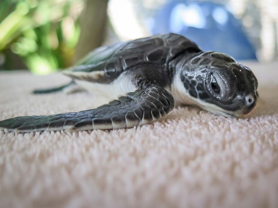 Rescue turtle Kokko 170106 RB.CM.029 Admission
