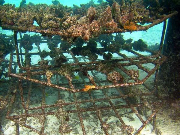 Reefscapers coral propagation Maldives - Pocillopora fragments (flat frames)
