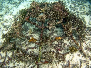 Reefscapers coral propagation Maldives – Pocillopara fragments (frame) (Reefscapers Diary 2017)