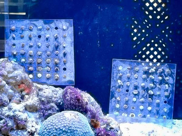reefscapers – coral growth experiment [KH 2017.01] (2)