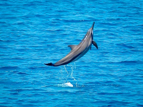 Excursions – spinner dolphin leaping, Maldives