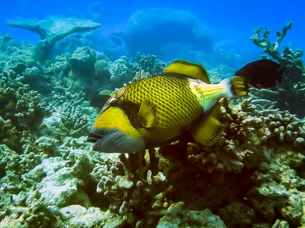 Excursions - trigger fish, Maldives