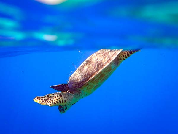 Marine Savers Maldives - excursions - wild sea turtle