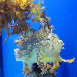 Fish Lab - Sargassum frogfish (Histrio histrio) Marine Savers Maldives